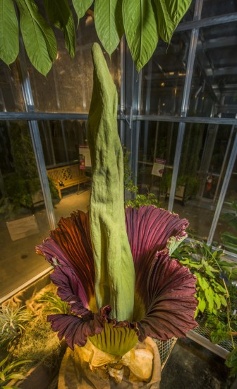 Corpse Flower Denver