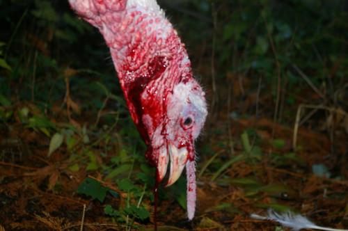 dying turkey
